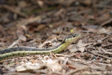 16_160725_Garter-Snake_CUE_P1180638.jpg