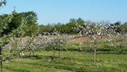 Spring Blossoms.jpg