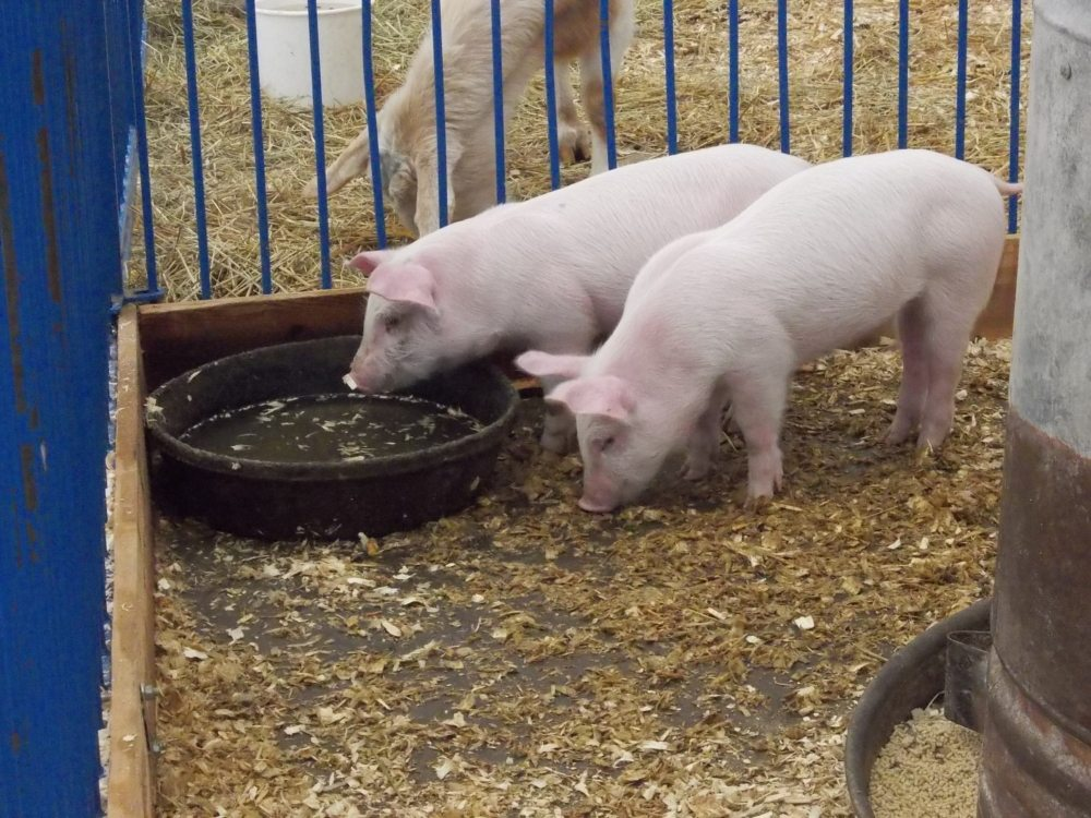 farm animals - pigs.JPG