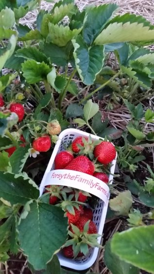 strawberries 2016.jpg