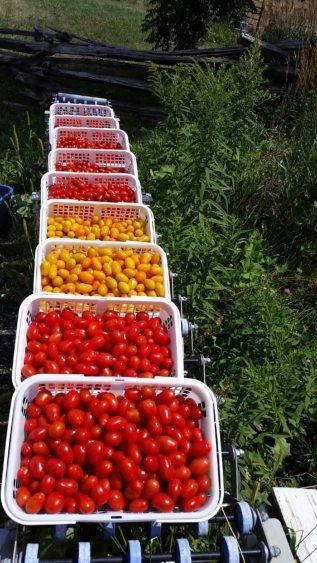 tomato harvest.jpg
