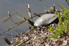 05_P1110915_painted-turtle_crop.jpg