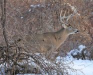 08_White Tail Deer male.jpg