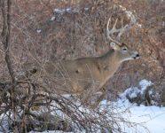 08_White Tail Deer male.jpg