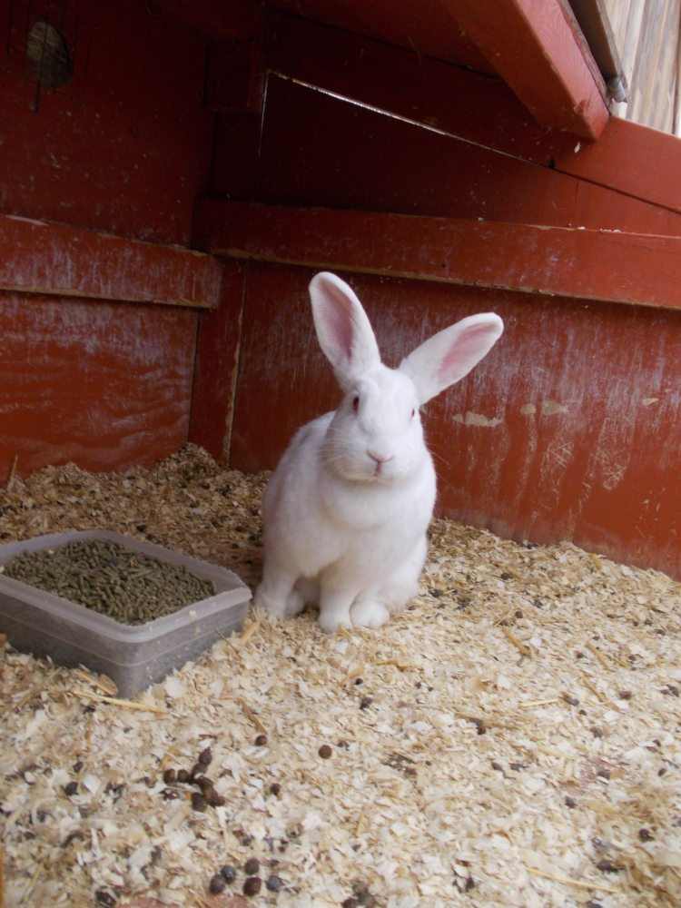 farm animals - bunny.JPG