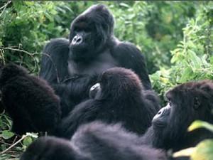 zoocheck - gorillas